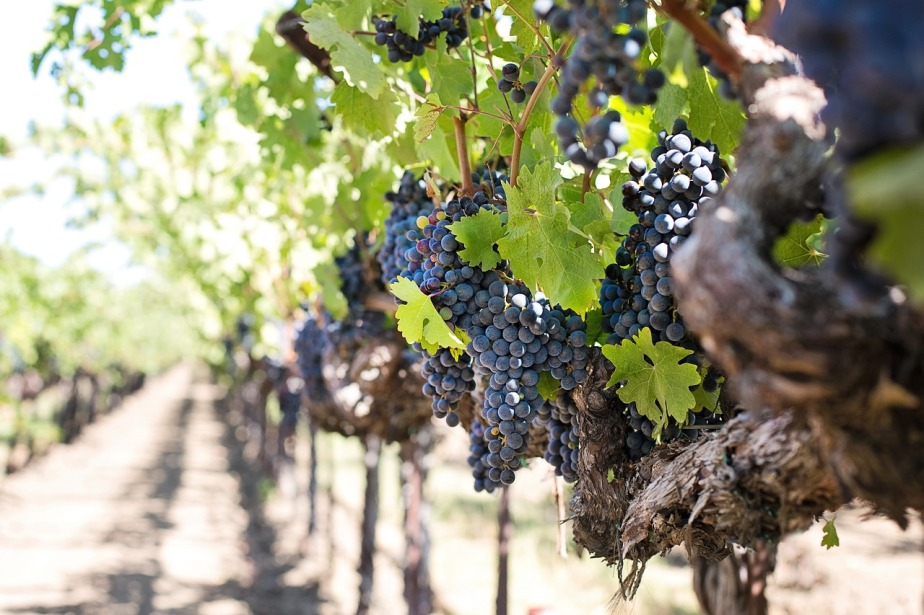 French wine harvest likely to rebound for2018